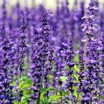 Odeur Lavender